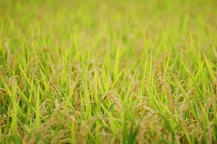 This year's MINOLTA () () Tags: minolta 7 af kodak colorplus 200 rice field   100300mm f4556