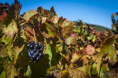 Vignes-0401 (philippemurtas) Tags: vignes raisin vin var paysage soleil nikon franceciel agriculture domaine vine grape wine valley landscape sun