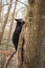 Hanging Out (Longleaf.Photography) Tags: climbing bear blackbear cub tree forest wildlife cadescove smokies gsmnp tn townsend gatlinburg