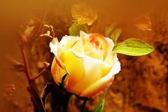 Flor Rosa /  flrsrs_0026c (João Batista**) Tags: flor flower rosa rose