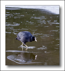 Treading On Thin Ice. (Phil Dodd CPAGB BPE1*) Tags: wildlife nature birds naturalhistory canoneos7d britishbirds coot winter ice britishwildlife sandwellvalley