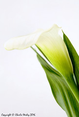 High Key Calla Lily (wesjr50) Tags: flowers naturallightphotography artisticphotography calla canon 5ds sigma180mmf35apohsmdg photoshopcc dxoopticspro color efex pro high key