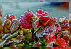 Hydrangea leaves in the 1st frosty morning  - 7 degrees (scorpion (13)) Tags: hydrangea leaves frosty morning nature winter colors creative photoart frame plant garden ice crystals ngc