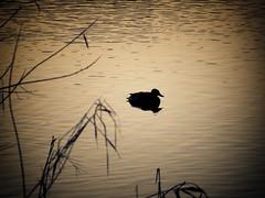 Some duck... (ParadoX_Design) Tags: duck waterbird waterfowl eend water ripple sunlight alone animal wildlife reeds nature