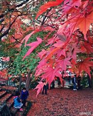 Maple leaves (dxm8975) Tags: maple leaves nature beauty autumn