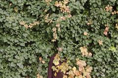 { i n t e r v a l l o } (mirehoracio) Tags: ivy edera fall autumn disappear