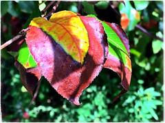 (Ruth Nicholas) Tags: fallleaves brightpatterns burgundy red yellow green strikingcolors