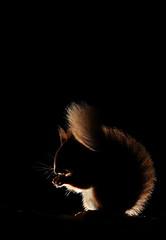 Red squirrel (Mike Mckenzie8) Tags: sciurus vulgaris scotland scottish uk cairngorm highland forest woods woodland pine ancient black white rim lighting mammal wild wildlife detail canon silhouette