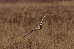 IMGP9834 Short-eared Owl, Burwell Fen, November 2016 (bobchappell55) Tags: shortearedowl burwell fen nationaltrust nature naturereserve cambridgeshire bird birdofprey flight asio flammeus