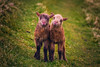 Little Lambs (West Leigh) Tags: faroeislands mykines lambs baby cute fluff sheep animal grass nature naturalbeauty travel travelphotography adorable happy smile