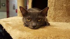 Coot (DDA1) Tags: saveapetilorg adoption adoptionshelter adoptioncenter adoptable adopt kitten graycat