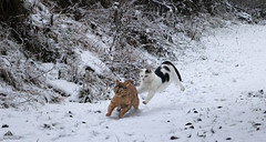 ❄ Last One There's The Rotten Egg! ❄ ❄ (Xena*best friend*) Tags: britneyspears richardgere rg bs catsinaction catsinthewhitestuff runningcats flyingcats catsplayinginthewhitestuff cats whiskers feline katzen gatto gato chats furry fur pussycat feral tiger pets kittens kitty piedmontitaly piemonte canoneos760d italy wood woods wildanimals wild paws animals calico markings ©allrightsreserved purr digitalrebelt6s efs18135mm flickr outdoor animal pet winter snow cold frozen catsinthesnow catsrunninginthesnow catsplayinginthesnow catshavingfuninthesnow chasing egg lastonetherestherottenegg atfullspeed sprint thebiggestgroupwithonlycats