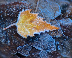 Yellow and Blue (Edinburgh Photography) Tags: nature landscape outdoors leaf winter frost inverleith park nikon d7000