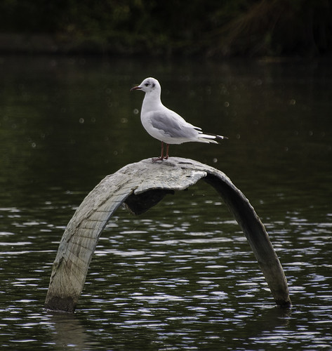 Gull on the Heron