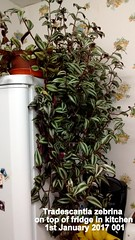 Tradescantia zebrina on top of fridge in kitchen 1st January 2017 001 (D@viD_2.011) Tags: tradescantia zebrina top fridge kitchen 1st january 2017