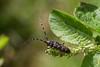The Pine Sawyer beetle (smir_001 (on/off)) Tags: july summer austria styria steiermark untertal schladming alpine subalpine altitude outdoor austria2016 canoneos7d river wildwaters wildewasser riesachsee macro closeup nature fauna monochamussutor smallwhitemarmoratedlongicorn pinesawyerbeetle sawyer beetle cerambyxsutor monochamus sutor europeanbeetles pests invasivespecies invasive bock kaefer schuster schusterbock schwartzerfichtenbock longhornedbeetles longhorns insect coleoptera cerambycidae longicornesurpin tallbock suutari vanligfurubukk