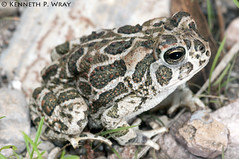 Bufo cognatus (Great Plains Toad) (Kenny Wray) Tags: nature wildlife great amphibian frog toad plains kenny herp herps bufo greatplains greatplainstoad wray anura amphibia bufonidae fieldherping herping bufocognatus cognatus anaxyrus kennywray
