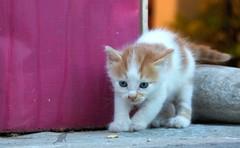 (#2.450) Mykonos /  (unicorn 81) Tags: animal cat kitten funny little sommer greece grecia katze griechenland mykonos tier reise niedlich streetcat younganimal mykonosgreece jungtier    cutte mkonos drollig southaegean