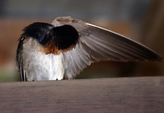 "Welcome swallow preening • <a style=""font-size:0.8em;"" href=""https://www.flickr.com/photos/50136865@N00/14949531494/"" target=""_blank"">View on Flickr</a>"