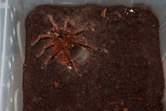 """own cb 0.1 Theraphosa stirmi subadult • <a style=""""font-size:0.8em;"""" href=""""http://www.flickr.com/photos/77637771@N06/14955450293/"""" target=""""_blank"""">View on Flickr</a>"""