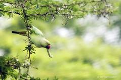 Parakeet (sibi ar ( I'm BACK :)) Tags: india bird parrot parakeet tamilnadu coimbatore sibiar sibiphotography