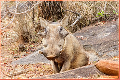 Warthog or Wartdog? (Johann (Sasolburg, RSA.)) Tags: warthog vlakvark ef70300mmf456isusm canoneos60d greatphotographers