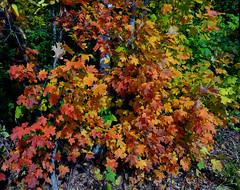 Couleurs - Colors (Jacques Trempe 2,270K hits - Merci-Thanks) Tags: park color tree fall leave automne quebec governor arbre parc couleur feuille aurumn gouverneur stefoy