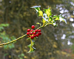 The holly bears a berry... (Treflyn) Tags: uk red england tree nature blood berry natural britain bears united great cream like kingdom arboretum somerset gloucestershire holly national westonbirt common lex aquifolium