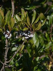 autumn plant newjersey nj kingston shrub bayberry myrica northernbayberry myricapensylvanica myricaceae middlesexcounty monmouthjunction fagales southbrunswicktownship mapletonpreserve heathcotemeadowspreserve