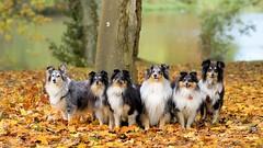 The Sheltie Autumn Mix (Sheltie Dog World) Tags: lakeside autumnleaves autumncolours thefall petdog autumngold sheltieworld sheltieonline sheltiesphotos shetlandsheepdogphoto shetlandsheltiecolliephotos shetlandsheltiecolliesheepdog