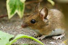 DSC01528 - Wood Mouse (steve R J) Tags: wood garden mouse rodent explore british