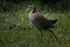 Vogel (bohnengarten) Tags: bird argentina del eos corrientes amerika esteros vogel argentinien ibera 70d
