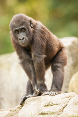 2014-09-19-14h24m51.272P3988 (A.J. Haverkamp) Tags: germany zoo gorilla hannover dierentuin mayumi westelijkelaaglandgorilla httpwwwzoohannoverde pobhannovergermany canonef500mmf4lisiiusmlens dob11042012