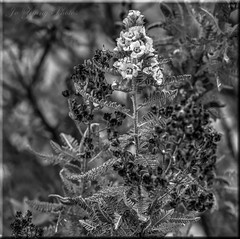The Flickr Lounge-White Fern Bush Flowers-HMBT! (It Sure Feels Like Fall, Love It!!!) Tags: flowers white bokeh background fernbush monochromeblackandwhitebokehthursday nov1016 theflickrloungeweeklythemeweek46black