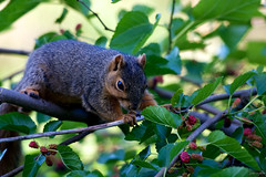 mulberry-hunting ~ Michigan (j van cise photos) Tags: squirrel michigan hunting mulberries afsnikkor70200mmf28gedvrii nikond7100