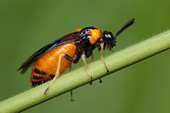 Sawfly (Rundstedt B. Rovillos) Tags: macro insect fly australia queensland insekt insekten insecte reverselens macrophotography insecta sawf