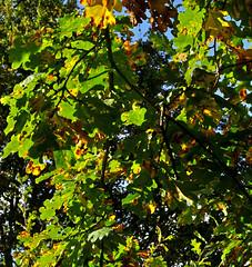 'Backlit leaves' (EZTD) Tags: england foto photos photographs fotos essex rhs fotograaf nikon50mmf18afd nikond90 rhshydehall essexgardens eztd eztdphotography photograaf eztdphotos eztdgroup