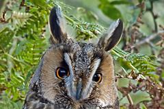 Long Eared Owl. (Mike Rawlings) Tags: