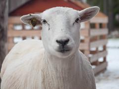 Sheep (totheforest) Tags: winter vinter sheep sweden explore fr lule norrbotten explored nikond90 hertsn nikkorafsdx18105mmf3556gedvr hertsmiljgrd exploredoctober222014