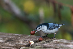 Nuthatch and Nuts (hey its k) Tags: birds nuts nuthatch hfg grindstonemarsh canon6d cherryhillrbg img0917edit