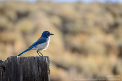 hungry eyes (Aaron_Smith_Wolfe_Photography) Tags: city carson jay nevada scrub scrubjay kingscanyon d800