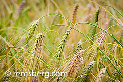 Wheat (Triticum) being grown for harvest (Remsberg Photos) Tags: life plants usa macro green wet horizontal closeup alaska garden farm wheat details farming colorphotography depthoffield growth health ag condensation growing agriculture waterdrops horticulture fairbanks digitalimage healthyeating triticum