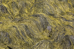 Yellow Seaweed Grass (Mabry Campbell) Tags: usa seaweed wet grass yellow photography coast us photo pattern photographer unitedstates image fav50 unitedstatesofamerica maine newengland august nopeople fav20 100mm coastal photograph kennebunkport 100 f56 fav30 fineartphotography wetgrass commercialphotography fav10 nohorizon editorialphotography 2013 fav40 intimatelandscape northeastus houstonphotographer sec northeastunitedstates ef100mmf28lmacroisusm mabrycampbell august122013 201308120h6a5143