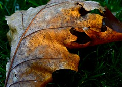 Sunset on a fallen leaf - Explore (mswan777) Tags: autumn trees sunset color macro fall nature leaf nikon michigan scenic sigma d5100