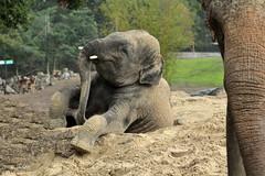 I'm coming...... (K.Verhulst) Tags: elephant elephants olifant emmen noorderdierenpark olifanten dierentuinemmen aziatischeolifant asiaticelephants