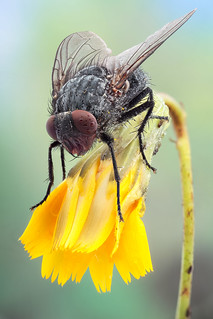 Autumn fly (Musca domestica)