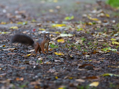 Eichhrnchen (Pepe Nietnagel) Tags: oktober animal canon deutschland eos tiere squirrel wildlife herbst natur 5d rhein ef rheinlandpfalz cureuil 2x 2014 tierfotografie konverter wildtiere telekonverter canonef7020028lusm niederwerth 5dmk3 5dmark3