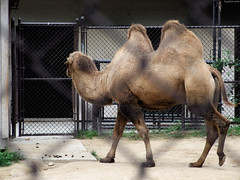 """Bactrian Camel with 2 humps • <a style=""""font-size:0.8em;"""" href=""""http://www.flickr.com/photos/34843984@N07/15537203531/"""" target=""""_blank"""">View on Flickr</a>"""