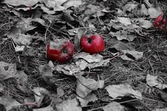 Apples (Maciej Wojciechowski) Tags: autumn apples selective