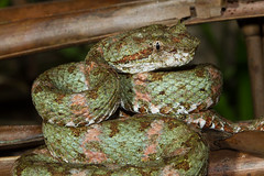 Eyelash Viper in Full Camo (Xuberant Noodle) Tags: wild costa eye animal forest reptile snake rica jungle eyelash poison viper lash poisonous venomous venom